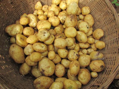 马尔科土豆/恩施土豆/马铃薯/洋芋